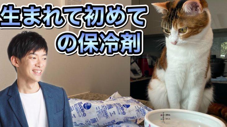 保冷剤が気になりすぎるねこ→概要欄にオススメのネコ科学本あり