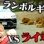 ランボルギーニとライオン戦わせてみた