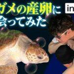 【感動】種子島でウミガメの産卵!